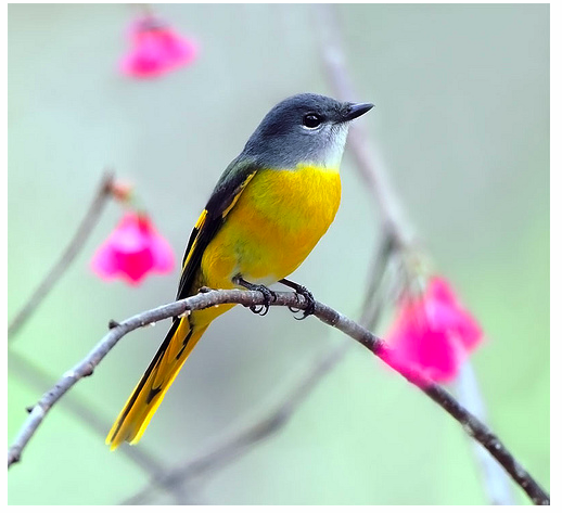 Birds, flowers, and saturated colors characterize many of the images within the 100 Club.  Gray-Chinned Minivet by member John&Fish